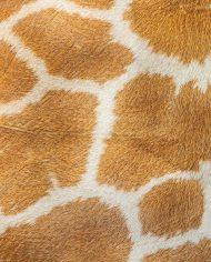 giraffeskin_